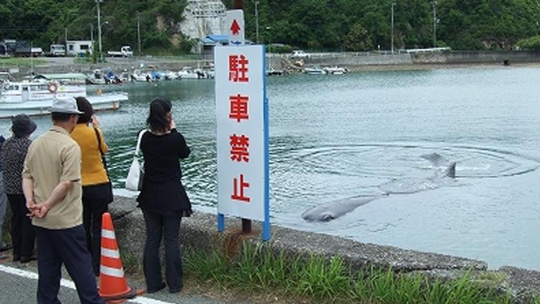 田辺湾に迷い込んだマッコウクジラ