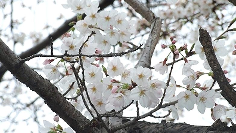 2013年 桜